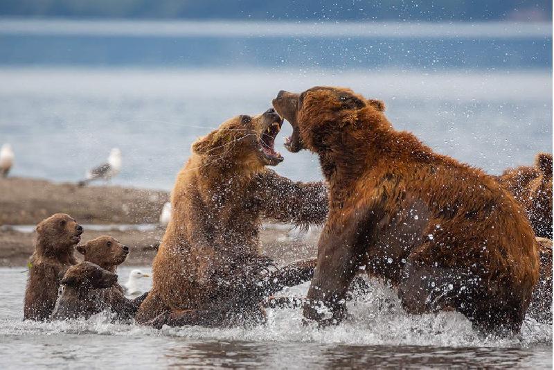 Медвежата смотрят на бой их мамы без страха и даже с некоторым интересом